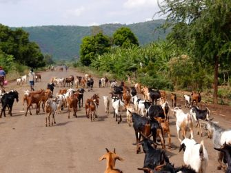 Typical road shot - there was an incredible amount of cattle on the road at all times