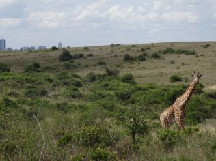 Nairobi National Park - skyscrapers in the distance