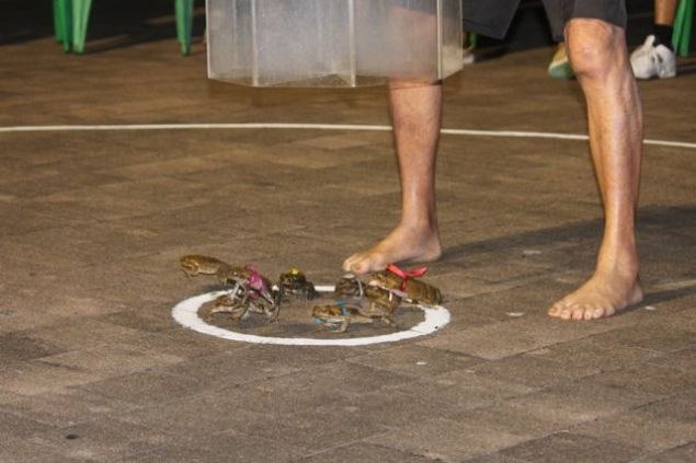 Cane toad racing