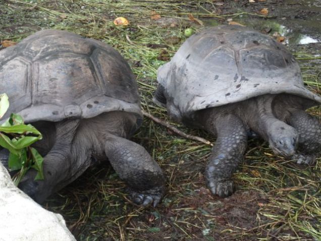 Giant tortoises on the Seychelles