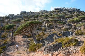 Endemic dragon blood trees